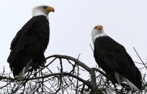 Eagles 6